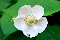 Wild Thimbleberry, Cracker Lake Trail, Glacier National Park
