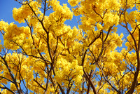 Yellow Trumpet Tree, Waimea, Kauai