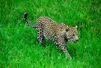Londolozi, Leopard, South Africa