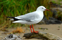 Red-Billed Gull, Russell, New Zealand