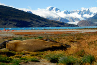 Ainsworth Bay, Elephant Seals, Chile