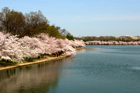 Cherry Trees around Tidal Basin