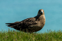 Great Skuas, Ingolfshofdi