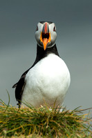 Ingolfshofdi Puffin Colony