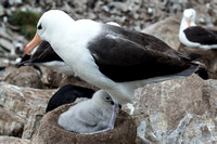 Black-Browed Albatross and Chick, West Point, Falklands