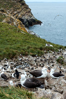 Black-Browed Albatross Colony, West Point, Falklands