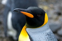King Penguin, Salisbury Plain, South Georgia